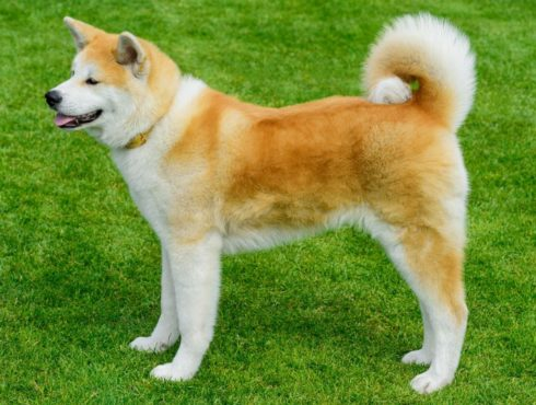 Top 10 Most Expensive Dog Breeds In The World — Страница 3